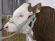Bull Halter